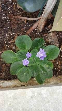 In ground outside african violets from the flavs.
